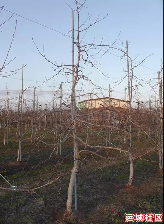 季苹果树修剪应遵循哪四个原则