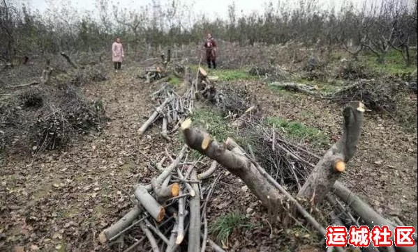 果农为啥要砍树?!苹果产业到底发生了什么?